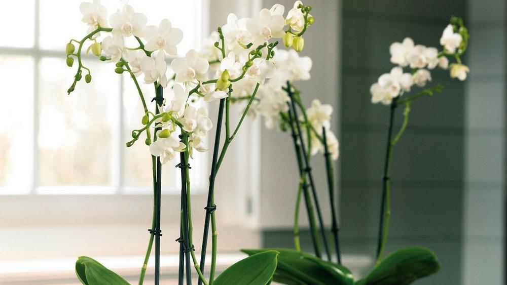 Choisir l orchid e comme plante d int rieur plan de maison - Arrosage orchidee d interieur ...